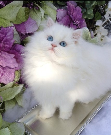 White Persian Cat Breeder